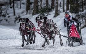 Обои собаки, фон, гонка, спорт