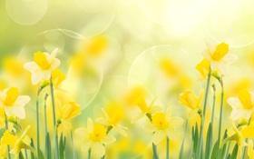 Обои макро, блики, стебли, желтые, цветки, боке, Нарциссы
