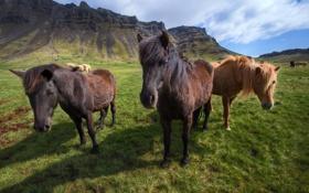 Обои горы, лошади, Исландия, Icelandic horses