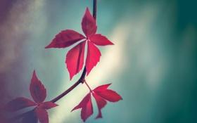 Обои листья, ветви, стебли, leaves, красные листья, branch, red leaves
