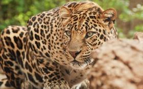 Картинка Леопард, засада, внимательный взгляд