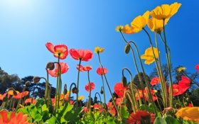 Обои цветы, природа, маки, цветение, nature, flowers, poppies bloom