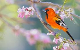 Обои птица, ветка, цветение, цветки, яркая, трупиал, Огненноголовый цветной трупиал