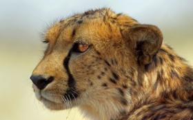 Картинка взгляд, хищник, гепард, cheetah