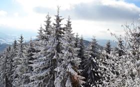Картинка снег, сосны, верхушки, смереки