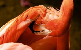 Обои природа, птица, фламинго