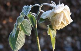 Картинка зима, иней, цветок, листья, снег, роза, лепестки