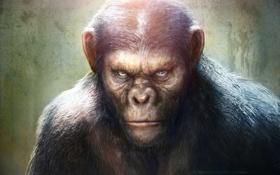 Обои monkey, Rise of the Planet of the Apes, Восстание планеты обезьян, Caesar