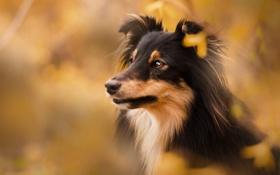 Картинка весна, щенок, Шелти, коричневые тона