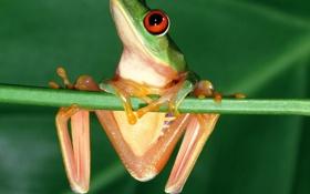 Обои глаза, лягушка, красные, frog