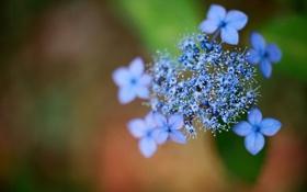Обои цветы, синий, гортензия, hydrangea