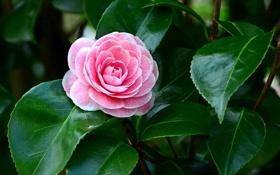 Картинка розовый, цветок, зеленые, камелия, листья, лепестки