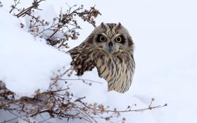 Картинка зима, взгляд, снег, сова, птица, смотрит, оперение