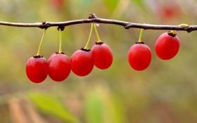 Обои природа, ягоды, ветка