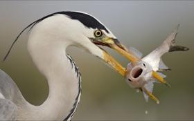Картинка животные, птицы, еда, рыба, добыча