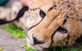 Обои морда, гепард, лежит, смотрит, грустный