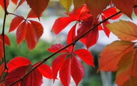 Обои осень, листья, Макро, красные, лиана