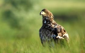 Картинка ястреб, птица, хищник, Орлан-белохвост