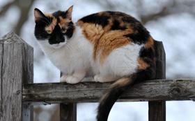Картинка кошка, забор, сидит, трехцветная