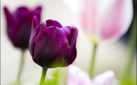 Обои фон, тюльпаны, цветы