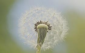 Обои цветок, одуванчик, растение, былинка