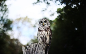Картинка взгляд, сова, птица, боке