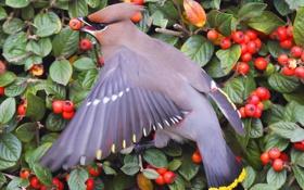 Обои листья, ягоды, птица, куст, корм, оперение, свиристель