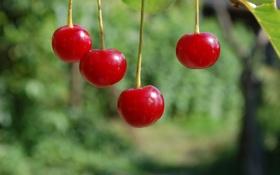 Картинка макро, природа, вишня, ягода