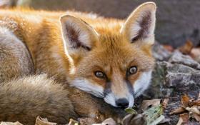 Картинка морда, листья, лиса, рыжая, fox, лисица