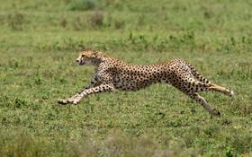 Обои predator, Cheetah, Africa, Acinonyx jubatus, big cat