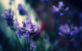 Картинка цветок, макро, природа, сиреневый, цвет, полумрак, лаванда