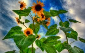 Обои небо, листья, облака, цветы, подсолнух, лепестки