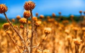 Обои поле, небо, природа, растение, сорняк