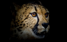 Картинка взгляд, фон, хищник, Гепард