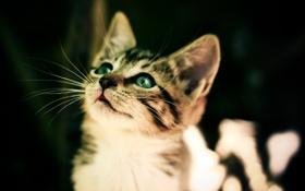 Картинка глаза, усы, котенок, портрет, уши, полосатый