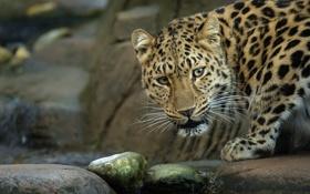 Обои морда, ручей, камни, хищник, дикая кошка, амурский леопард