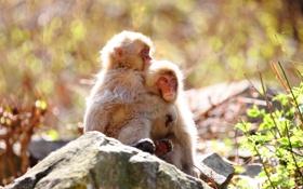 Обои природа, фон, обезьяны