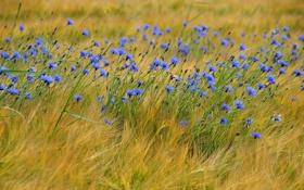 Обои голубые, колосья, полевые цветы