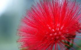 Картинка цветок, красный, мимоза, Powderpuff Tree