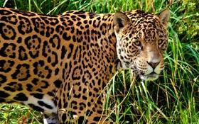 Обои трава, морда, хищник, пятна, ягуар, профиль, смотрит