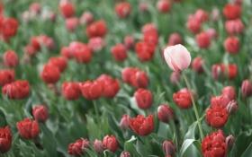Картинка розовый, тюльпаны, красные, лепестки, много, цветы