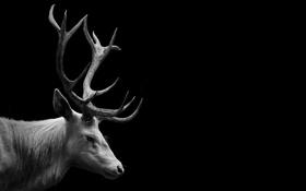Картинка deer, wild, white deer, antler