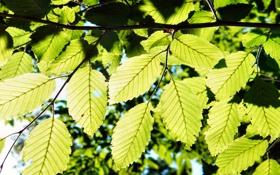 Картинка зелень, листья, макро, природа, листва, листик, листочки