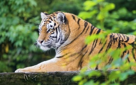 Картинка тигр, отдых, листва, хищник, амурский