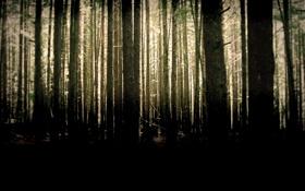 Картинка лес, деревья, стволы, чаща