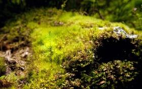 Картинка мох, Лес, сосна