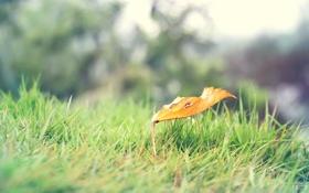 Картинка трава, желтый, природа, лист