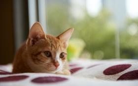 Обои дом, котенок, покрывало, лежа, бело-рыжий