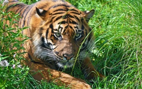 Картинка трава, морда, тигр, отдых, хищник, амурский