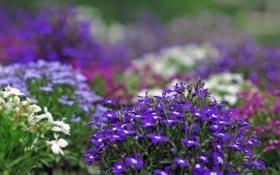 Обои цветы, растения, размытость, фиолетовые, белые, сиреневые, клумбы